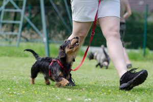 dachshund 672780 1920 300x199 - Trainingsangebot